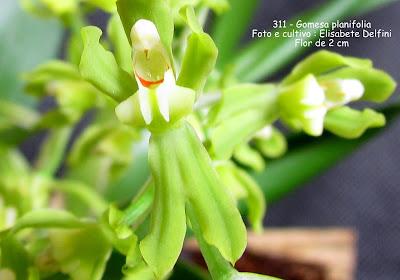 Gomesa planifolia do blogdabeteorquideas