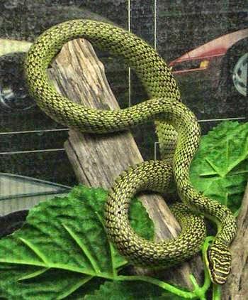 foto ular naga - gambar hewan - foto ular naga
