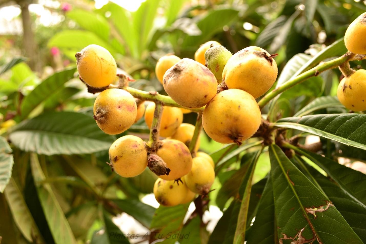 Arbol De Nisperos Plantas medicinales a tu salud: nÍspero