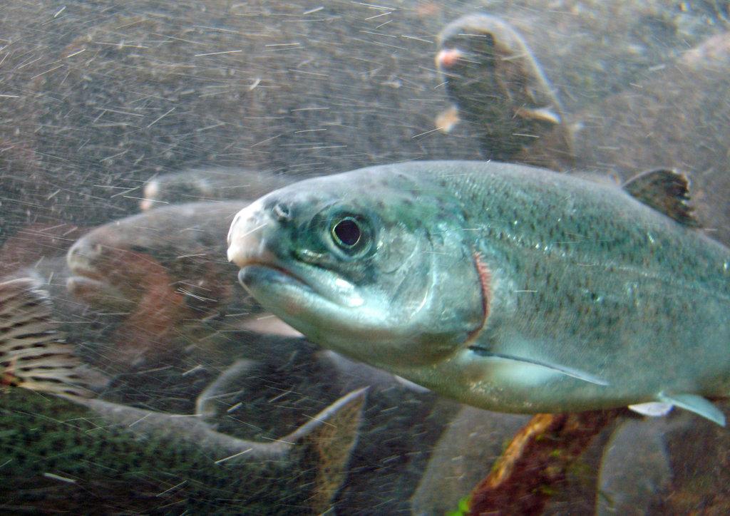 不飽和脂肪酸-鮭魚含有豐富的EPA和DHA