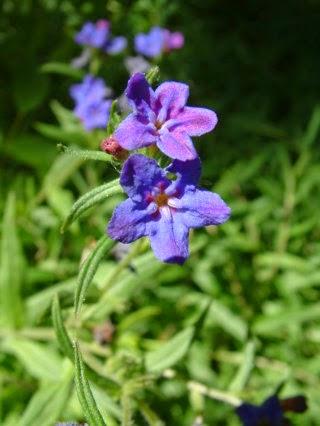 ムラサキの花 : 紫根にPAK遮断剤「シコニン」