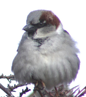 Fluffing up like a feather ball creates pockets of warm air to comfort the bird.