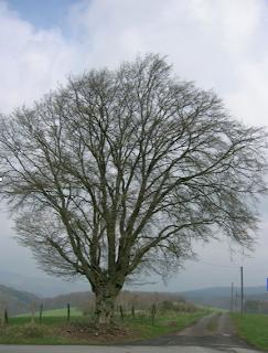 Hainbuche, bizarrer Baum, Pfefferkuchenbaum