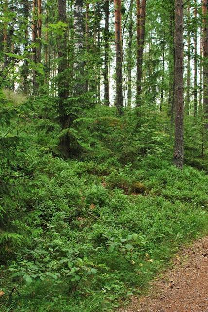 Muonamiehen mökki - Metsä