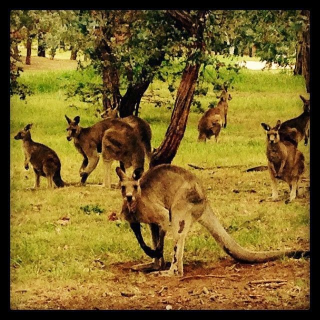 The Australian media personality shared a picture into her Instagram acount, about the original beauty of Australia with several kangarooes.