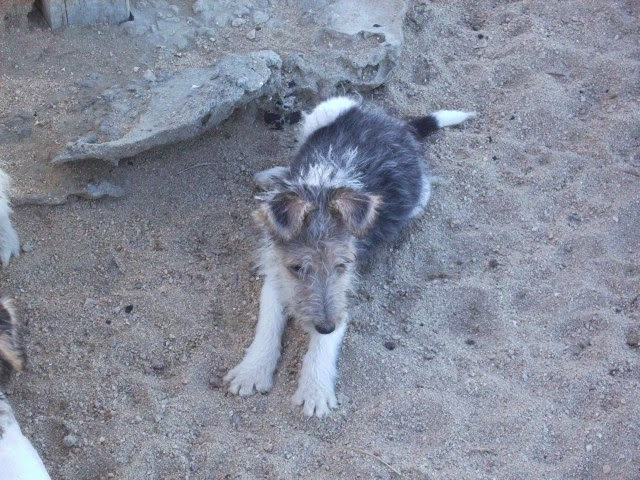 Wire Fox Terrier Puppies For Sale Wire Fox Terrier Puppies For Sale