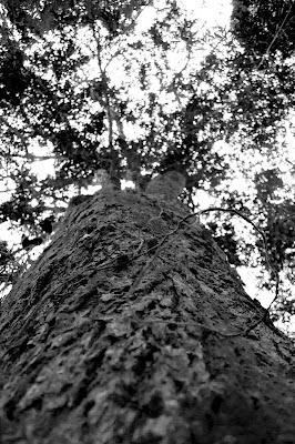 Fotografia em P&B de uma árvore do Parque Alfredo Volpi