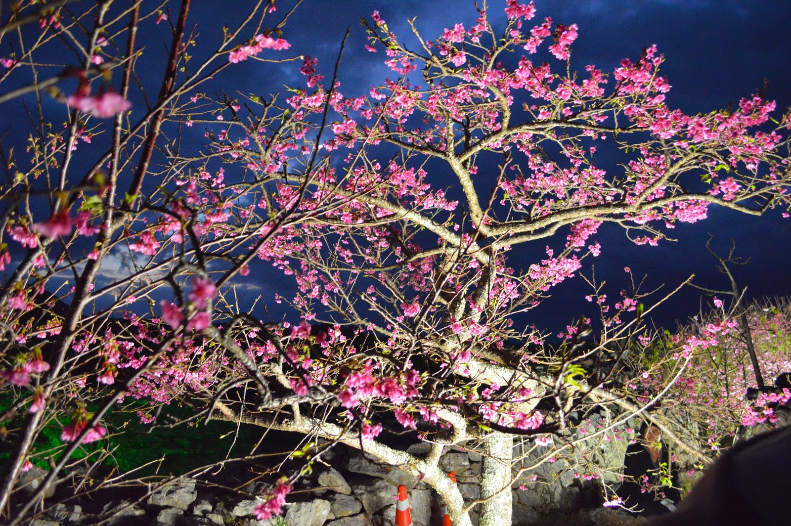 2015年今帰仁城址の夜桜