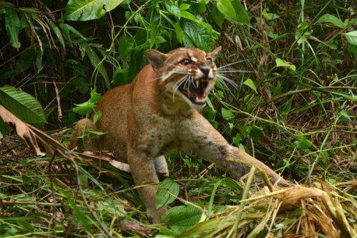 Kuala lumpur asian golden cat 2011