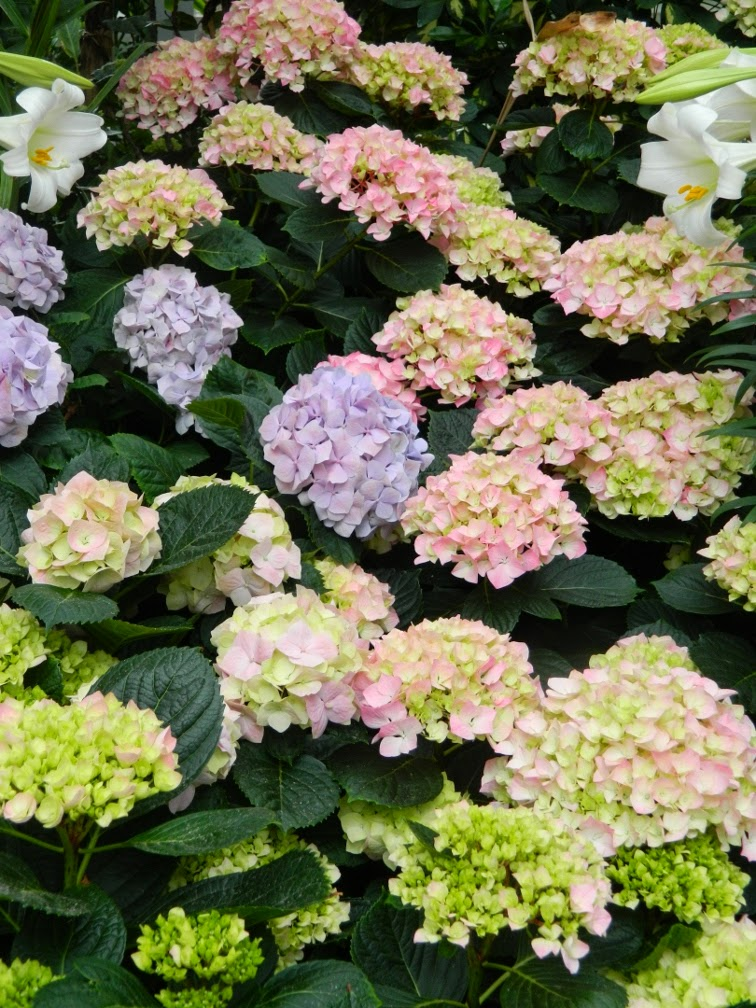 Pink light blue Hydrangea macrophylla Allan Gardens Conservatory 2014 Easter Flower Show garden muses-not another Toronto gardening blog