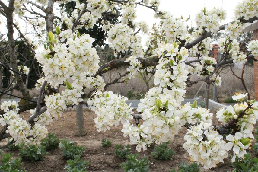 Meteom stoles llega la primavera y con ella la floraci n - Arbol de membrillo ...