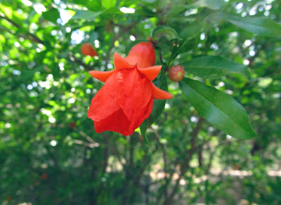 Annieinaustin,pomegranate flower, Mayfield Park