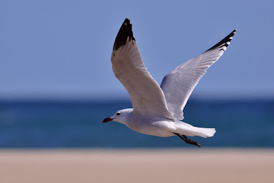 Audouin's Gull Flying