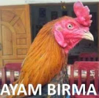 Ayam Birma Ayam Burma Myanmar
