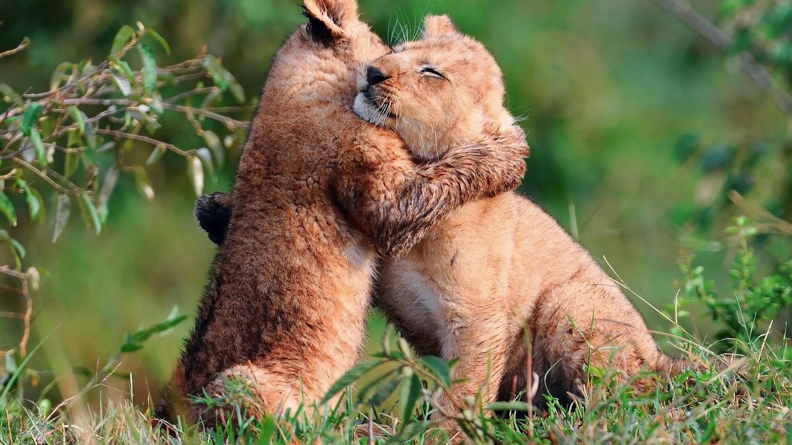 http://4.bp.blogspot.com/-K-BQigzc73k/UCKU8Q5Iv3I/AAAAAAAACkY/V8y0gIVhIps/s1600/baby-lions-hug-wallpaper-1920x1080.jpg