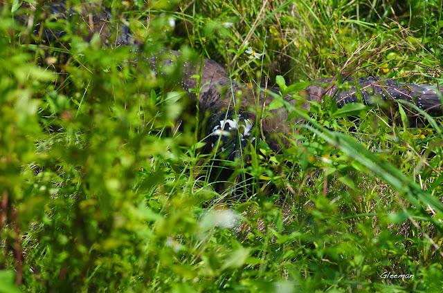雞南山的大冠鷲- 阿鷲抓到蛇了。