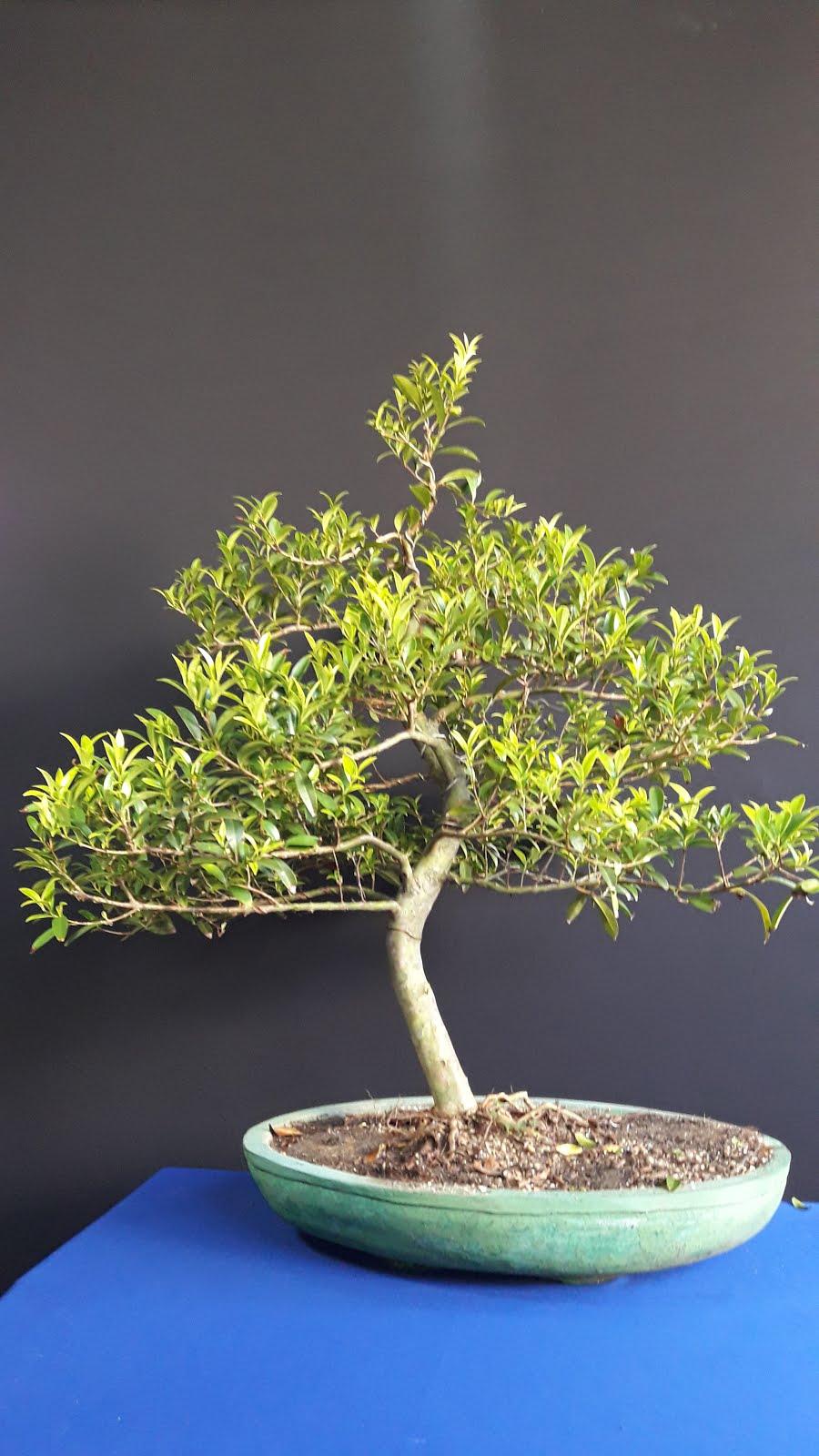 Bonsai Cerejeira
