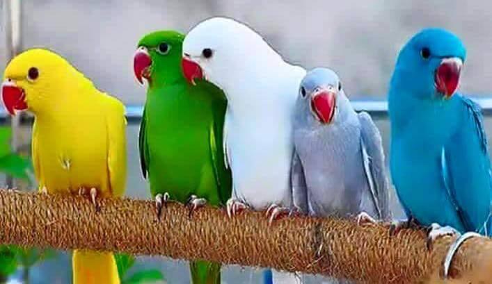 Kolorowe papużki