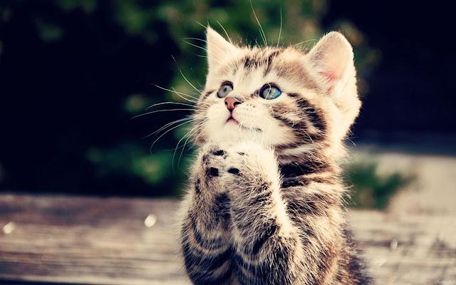 Sweet Kitty Praying