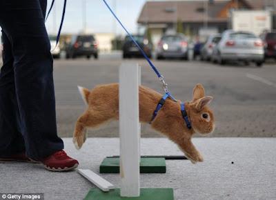 balap kelinci eropa