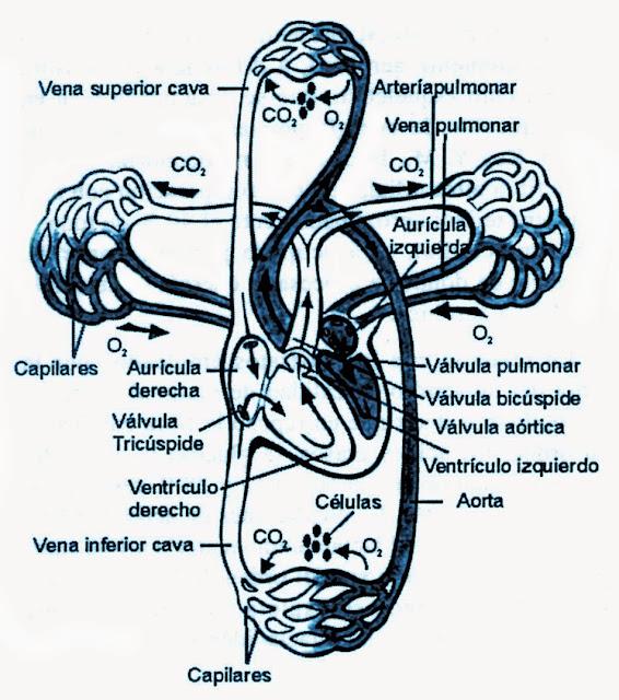 Circuito Mayor : Estructura del sistema cardio vascular circuitos mayor y