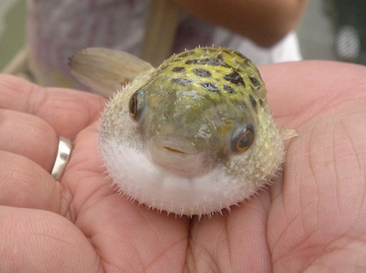 Anything Under the Sun: Wordless Wednesday - Puffer Fish