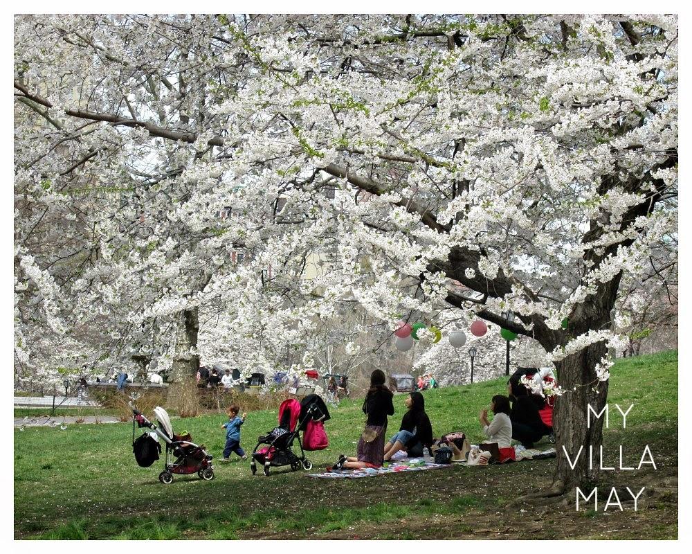 Kirsikkapuiden juhlaa Central Parkissa
