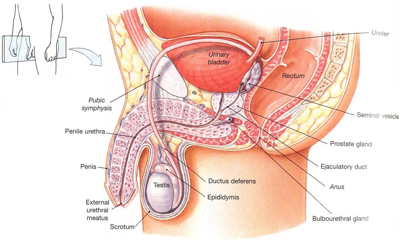 penis u
