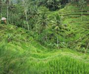 World Heritage Bali Paddy Fields Indonesia