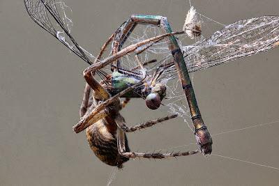 Tierfotos - Libelle im Spinnennetz