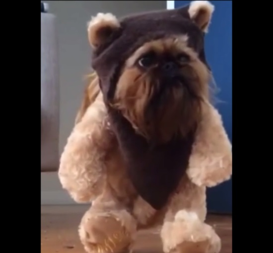 Revengeofthe5thnet And Now Folks We Give You Dogs Dressed Like Ewoks