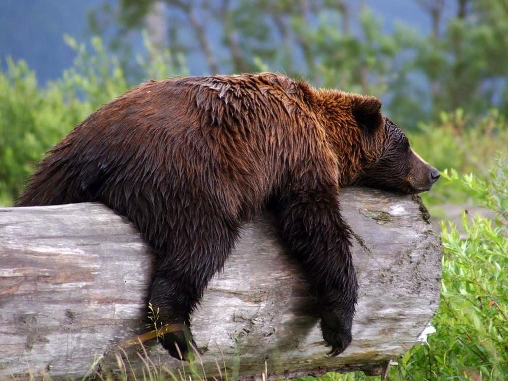 "<img src=""http://4.bp.blogspot.com/-K2zloAgpzpY/UtuqNlNQgAI/AAAAAAAAI_0/-l2BLXLVwmo/s1600/sleeping-grizzly.jpeg"" alt=""sleeping grizzly"" />"