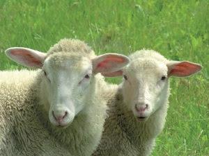 Ridateci mamma radio 2 radio2 il mistero delle pecore - La pagina della colorazione delle pecore smarrite ...
