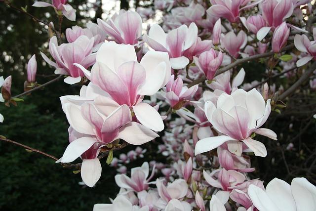 gesund im mund mit magnolie gesundheit wissenschaft. Black Bedroom Furniture Sets. Home Design Ideas