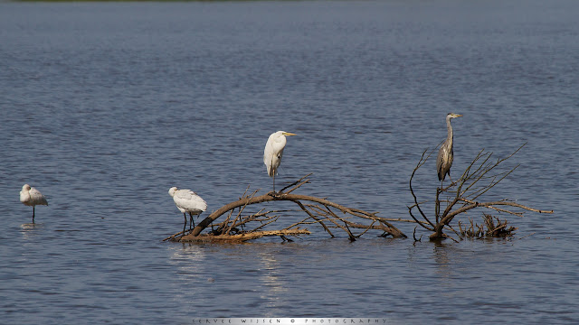 Lepelaar & Zilverreiger & Blauwe Reiger - Great White Egret, Blue Heron & SpoonbillArdea cinerea & Ardea Alba & Platalea leucorodia