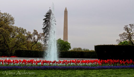 White House fountain with red tulips in full bloom