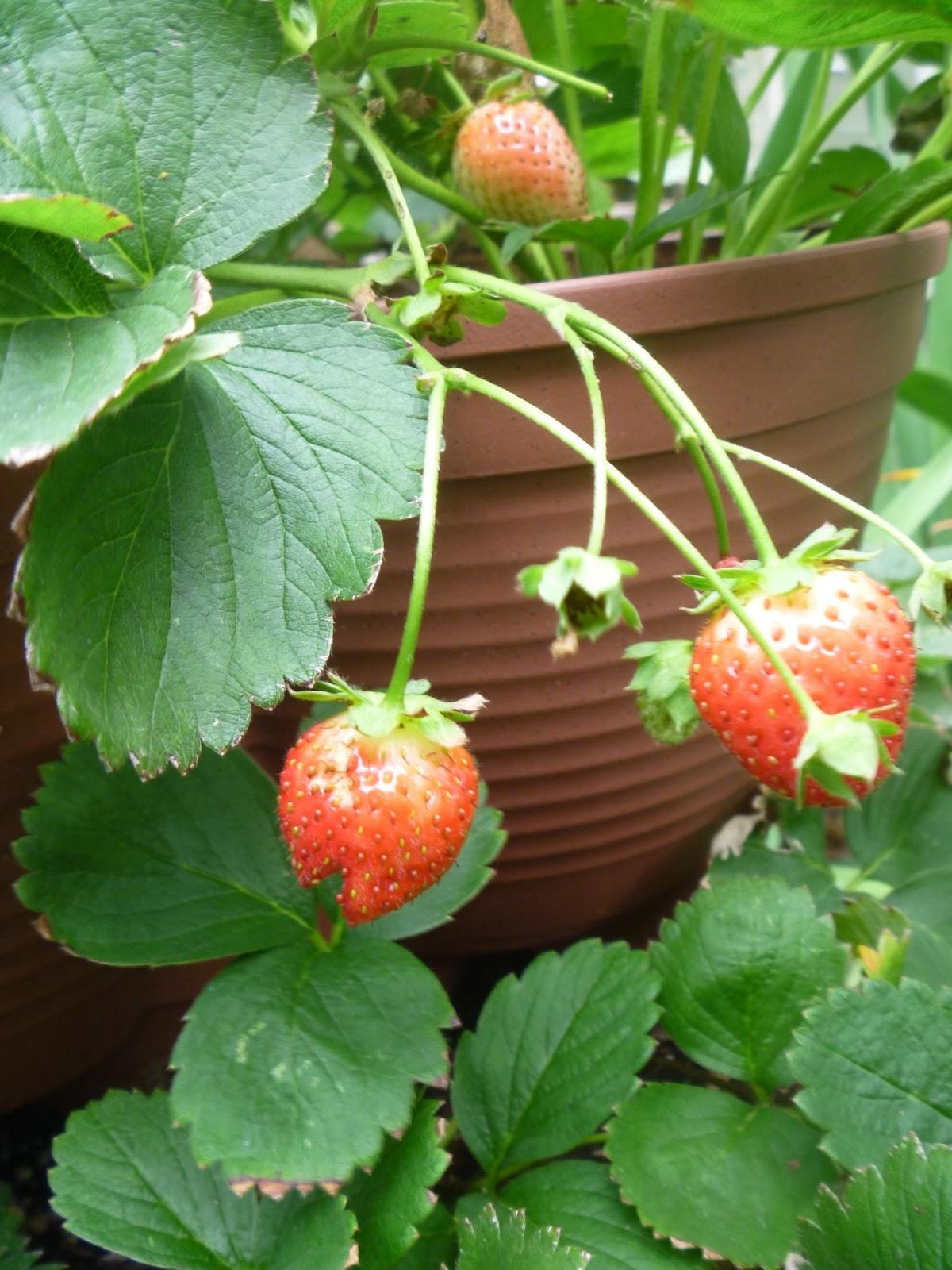 my homemade iowa life strawberry stack a pot update