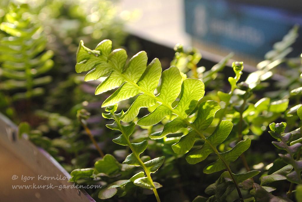 Дербянка японская или ниппонская (Blechnum nipponicum)