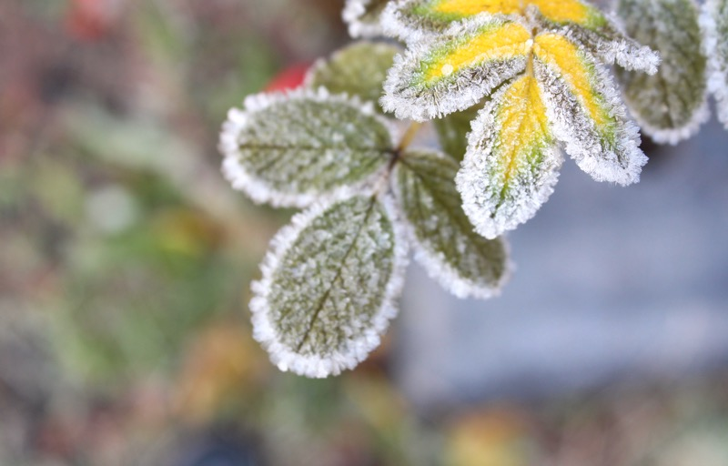 frozen Green leafs