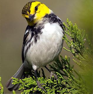 Golden- cheeked warbler