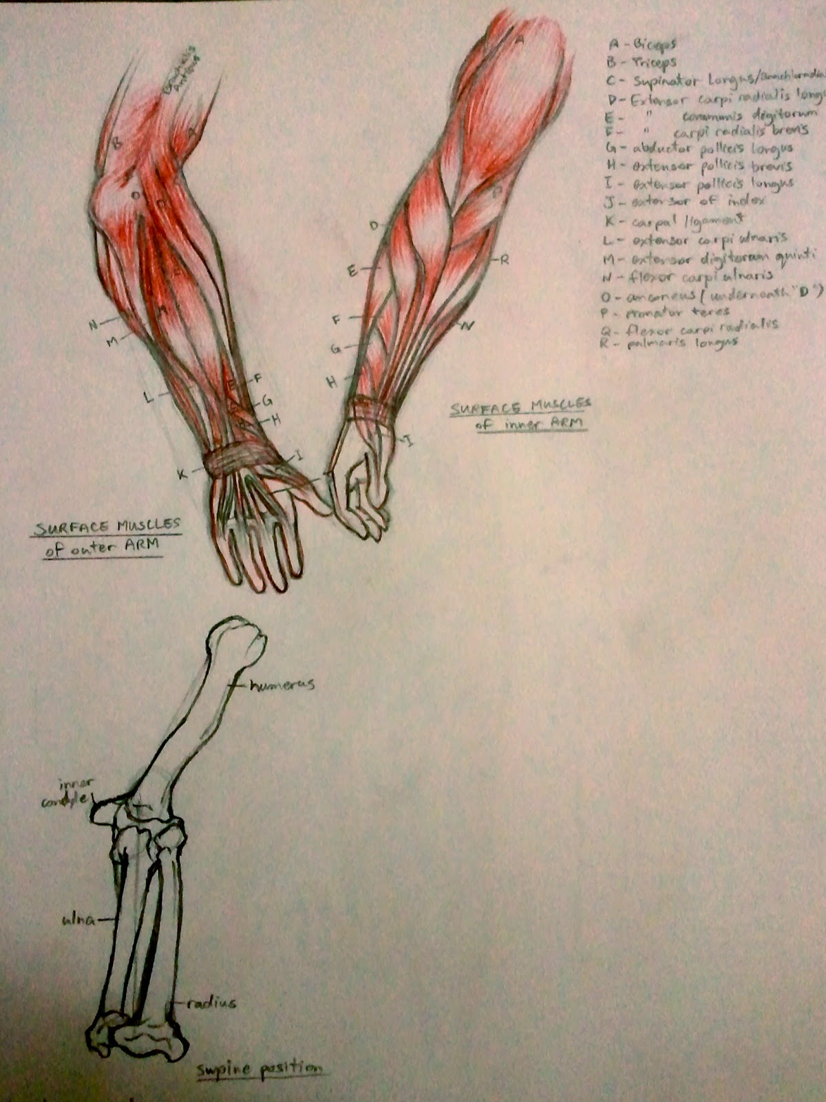 Anatomy of the arm muscles