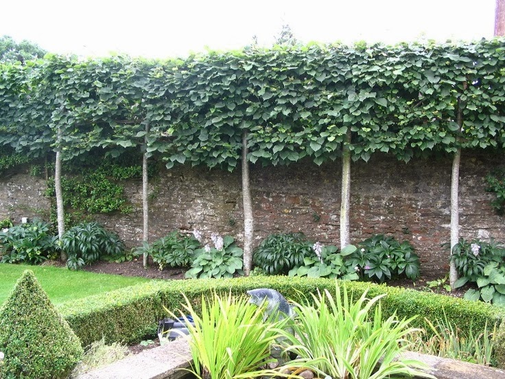 Backyard Trees For Privacy : This pleached hedge shields the garden from the view and noise of a