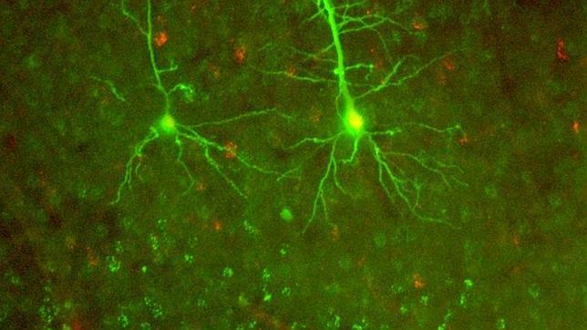 Crean neurona artificial