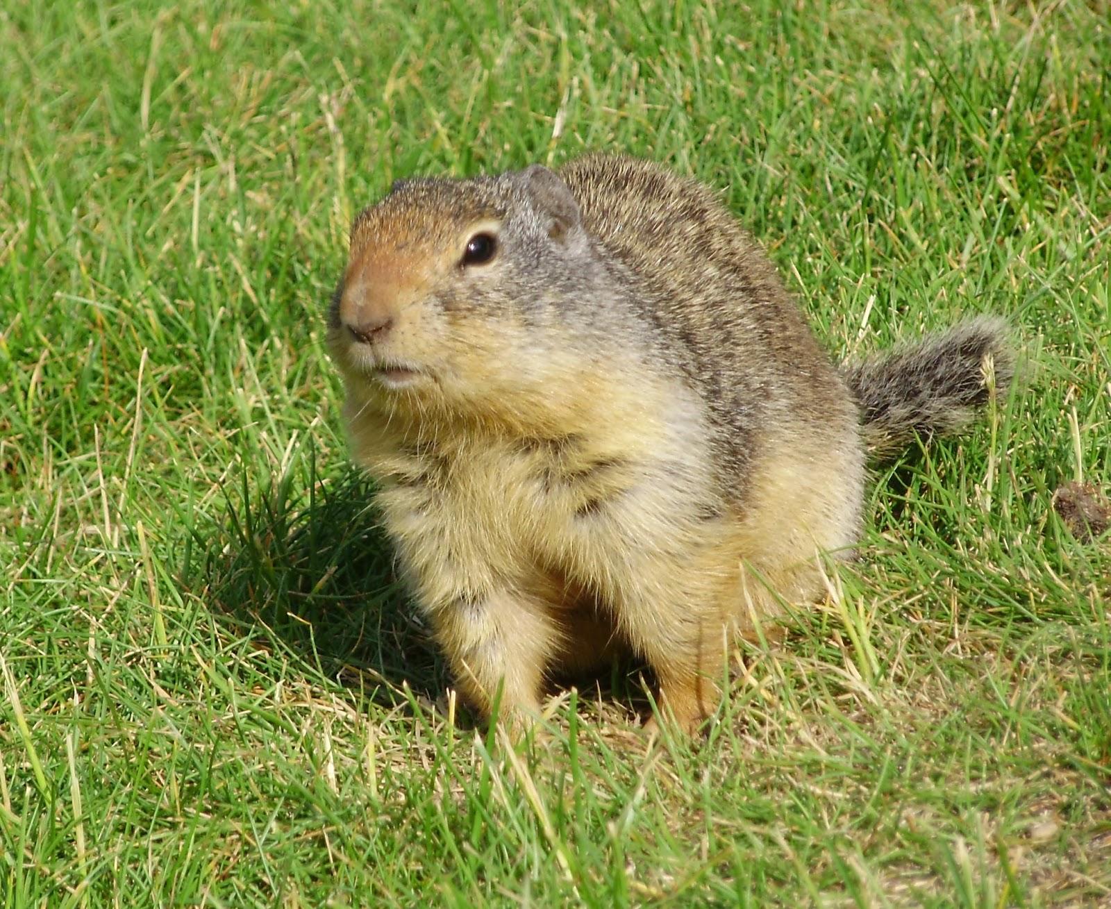 Marmots flaviventris Animals | Amazing Facts & New ...