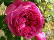 VA DE ROSAS. rosas