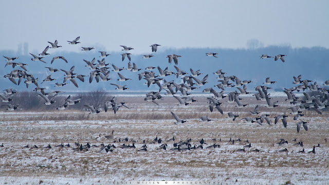Brandgans - Barnacle Geese