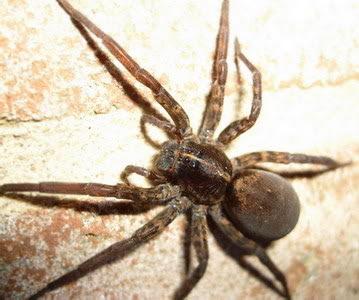 Female Wolf Spider resized