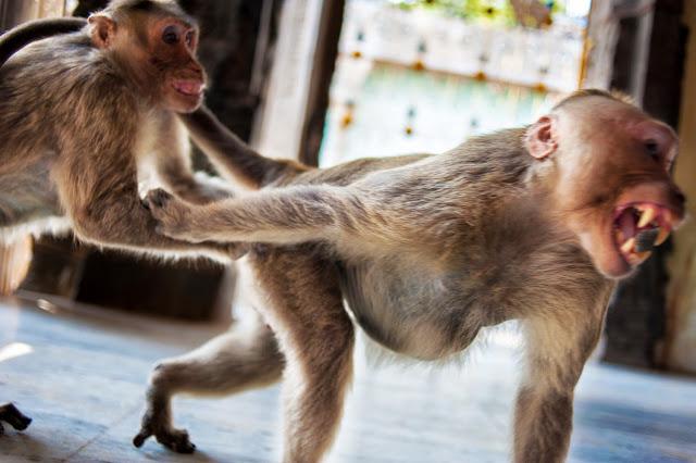 обезьяна злится