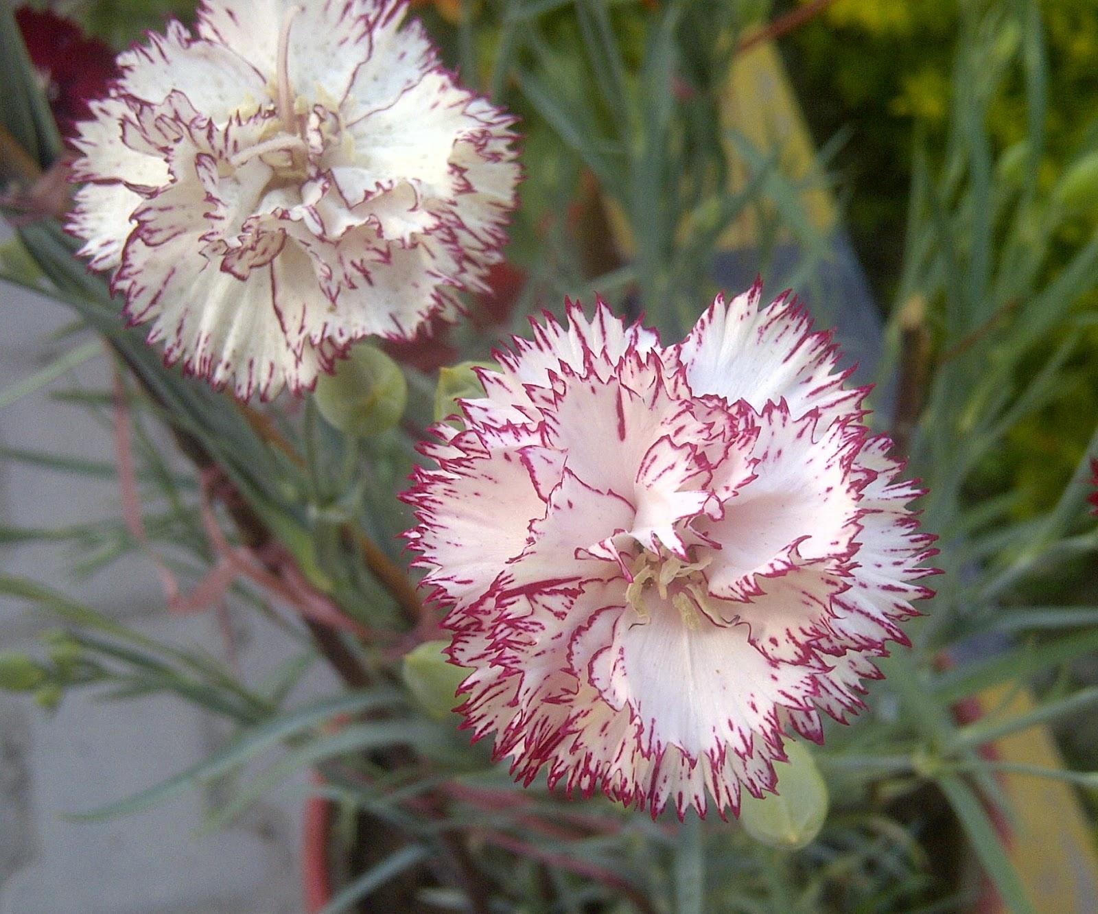 Flower Homes Carnation Flowers