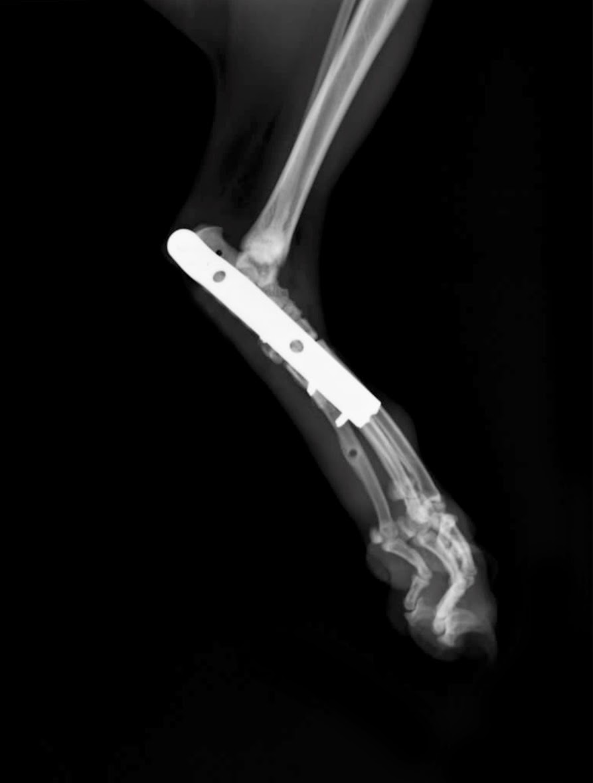 placa artrodesis gato